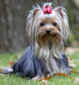 yorkshire terriers in park setting