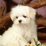 63235_Fluffy-Maltese-Puppy-Dogs-White-Puppies-wallpapers-1280-1024-9_1280x1024