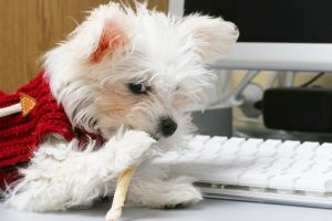 cute maltese at computer chew stick stock