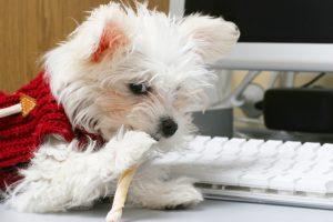 cute maltese at computer chew stick stock