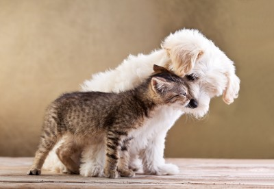 maltese puppy and kitten