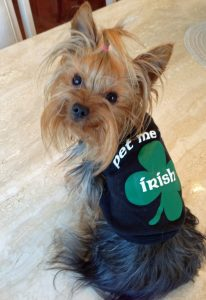 Yorkie pet me im irish
