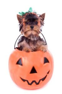 miniature yorkie yorkshire terrier halloween costume 1