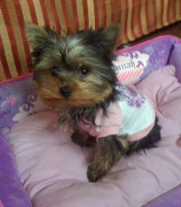 tiny yorkie puppy in bed