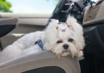 maltese dog on car seat