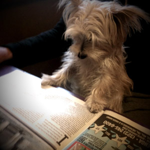 Morkie enjoying a good read