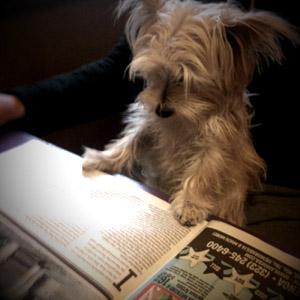 Morkie enjoying a good read
