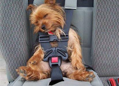yorkie_in_seat_belt