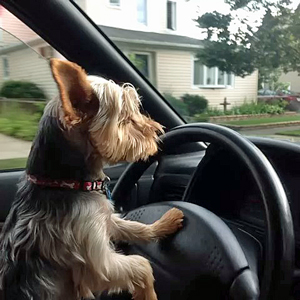 morkie-driving-a-car
