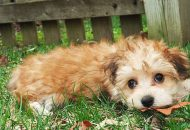 Morkies and lawns