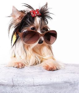 tri colour morkie in sunglasses