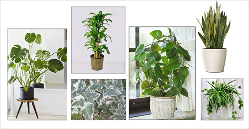 There are many varieties of easy-to-grow, indoor plants that help clean the air.