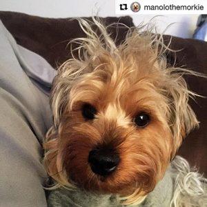 manola-the-morkie