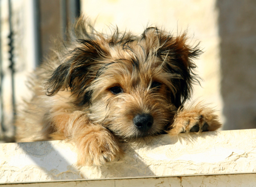 How long can a yorkie maltese live