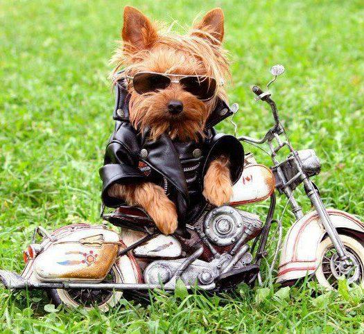 yorkie-biker-motorycyle