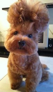 morkie dog wig for halloween