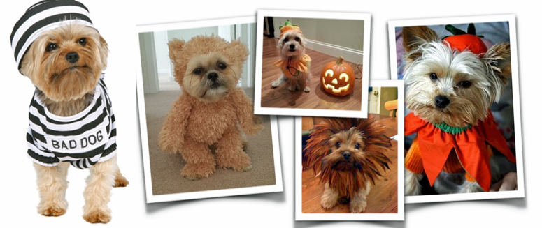 Don't force your Morkie to wear a costume if he fusses.
