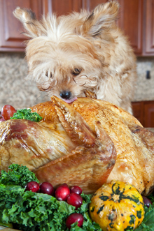 morkie-eating-turkey
