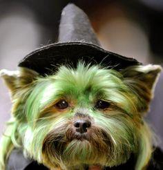 morkie-halloween-costume