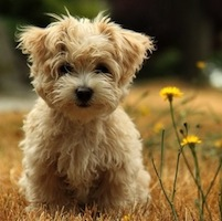 training-your-morkie