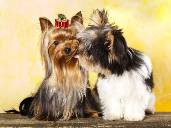 yorkie-and-morkie