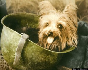 Smoky the Yorkshire Terrier, WWII. Believed to be the first ever therapy dog.