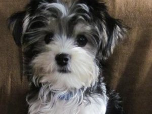 cute morky puppy