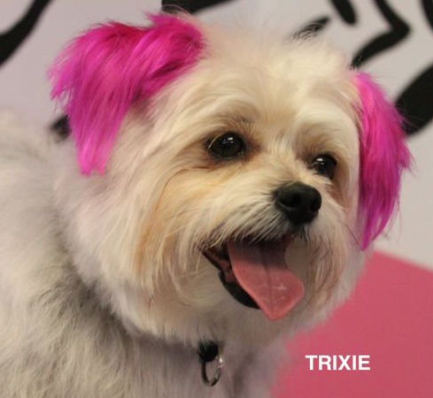 morkie-with-her-ears-dyed-pink