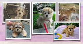 Morkie pictures