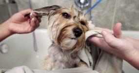 morkie having a bath