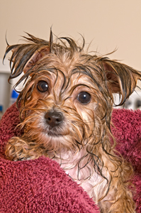morkie having a bath